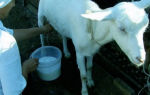 Как правильно доить козу