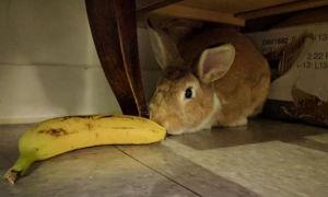 Можно ли давать кроликам банановую кожуру