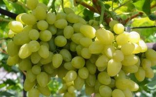 Виноград холодоустойчивый Бажена