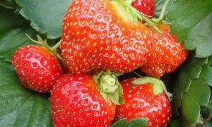 Клубника сорта мара де буа — декоративная ягода-гибрид для употребления в свежем виде