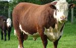 Герефордская порода домашних коров