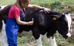 Распространенные болезни, снижающие продуктивность коров