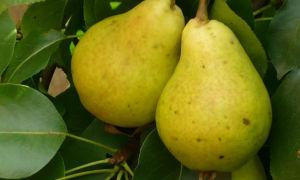 Груша сорта дюшес: особенности посадки, выращивания и хранения урожая