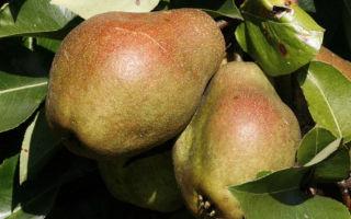 Груша Киффера — осенний высокоурожайный сорт стойкий к болезням