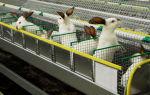 Секреты домашнего и промышленного разведения кроликов