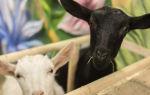 Сколько живут домашние козы