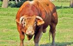 Самые распространённые клички быков
