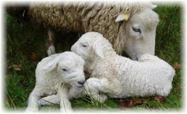 2 ягненка и овца