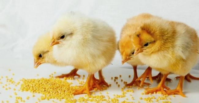 4 птенца кушают пшено