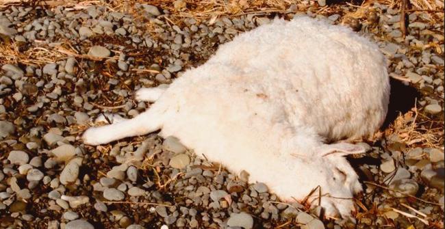 мертвый ягненок