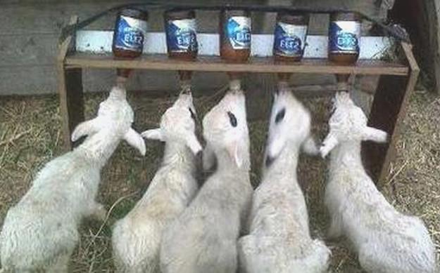 овечки пьют