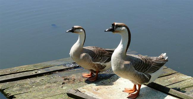 2 кубанских гуся у озера