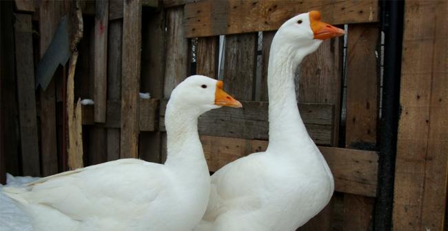 2 линдовских гуся