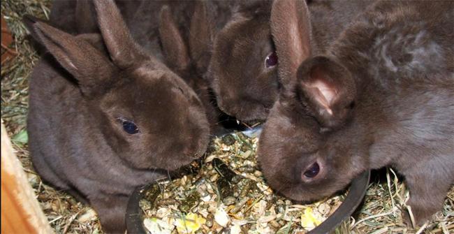 4 кролика едят пищу