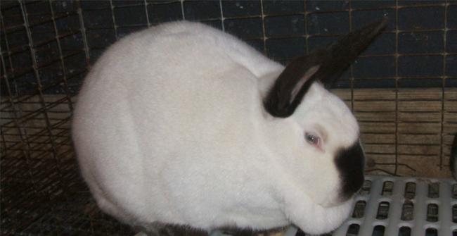 большой жирный кролик
