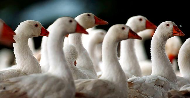 гуси породы лергат на птицефабрике