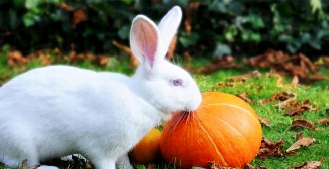 кролик хочет тыкву