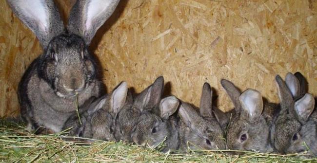 кролики и мама крольчиха