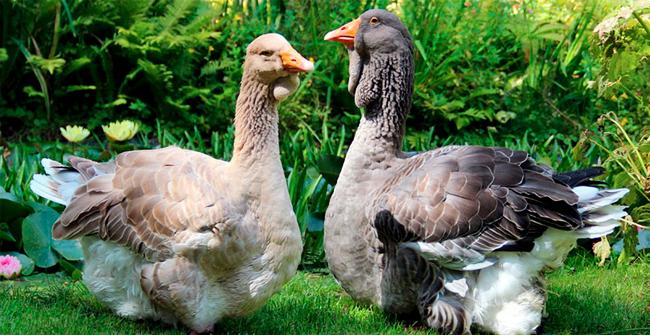 пара серых тулузких гусей