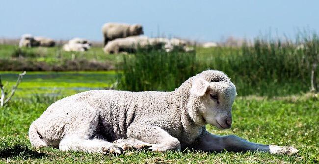 Семимесячная овца