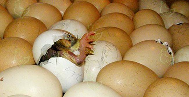 вылупившийся птенец курицы