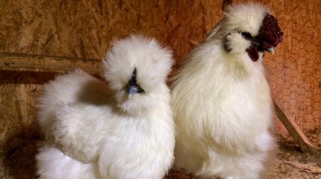 2 петухообразных цыпленка