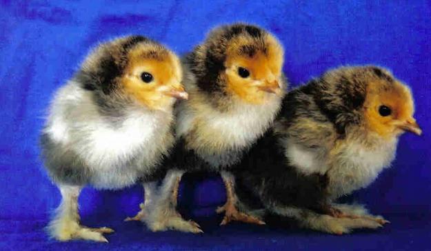3 любопытных цыпленка