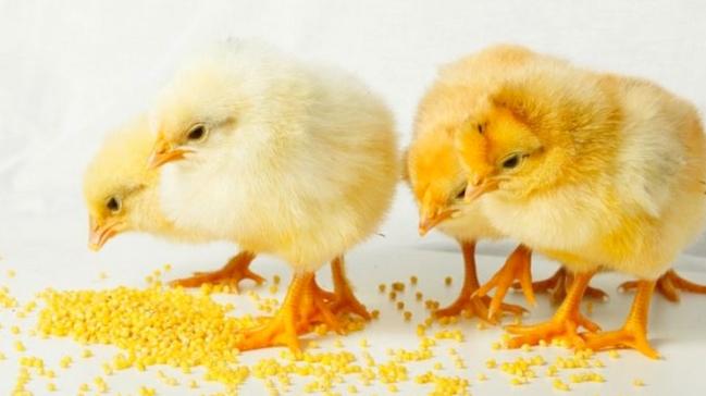 4 едящих маленьких цыпленка