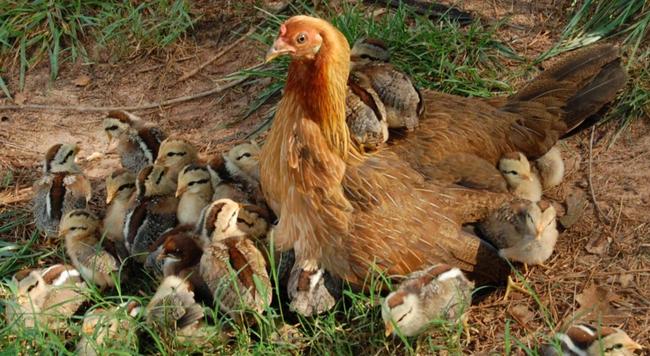 курочка и цыплятки