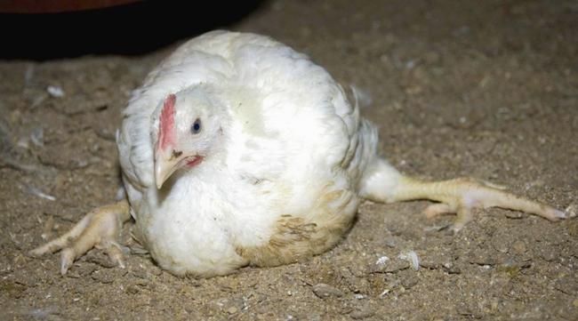 падающая курица