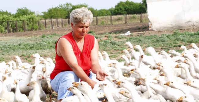 разведение гусей на ферме