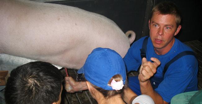 выцеживающие спермы у свиньи