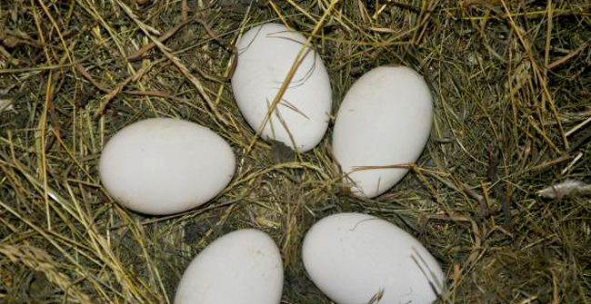 5 гусиных яиц