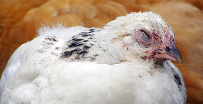 больной белый цыпленок