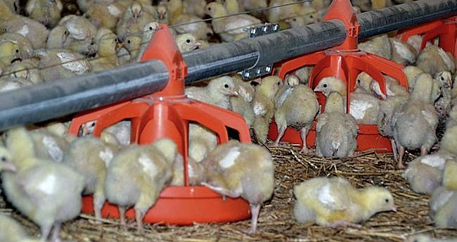 цыплята на обеде
