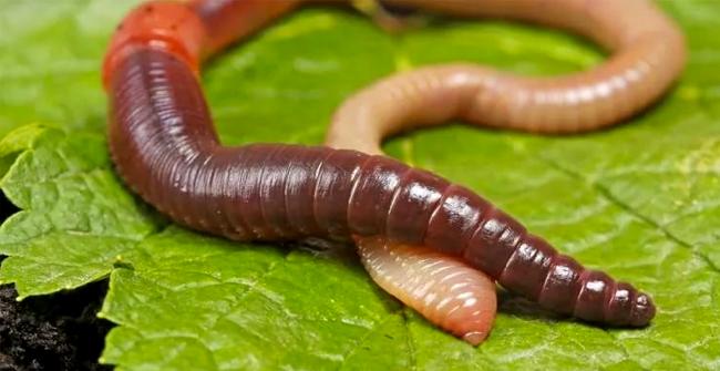 кольчатый червь