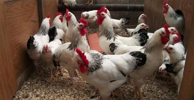 курицы и петухи мастер грей