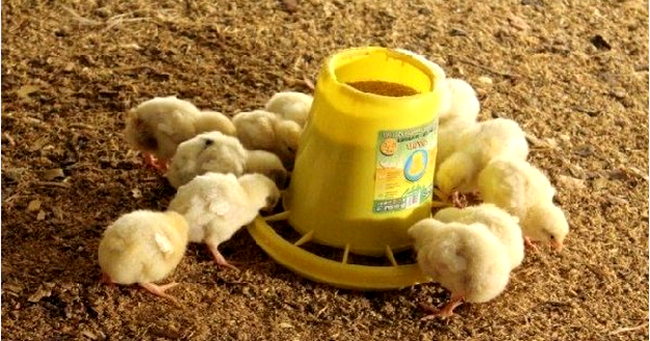 маленькие цыплятки кушают комбикорм