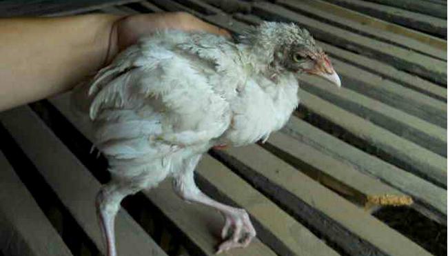 падающая больная курица