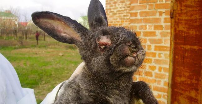 безнадежный больной кролик