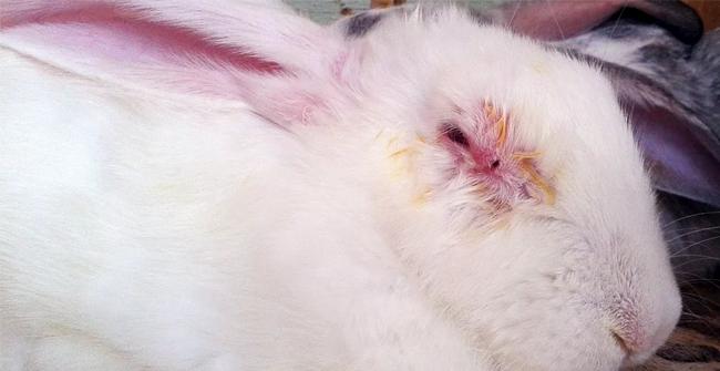 больной миксоматозом кролик
