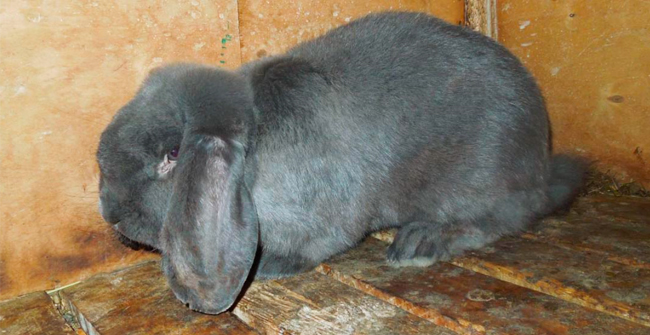 черный кролик баран вислоухий