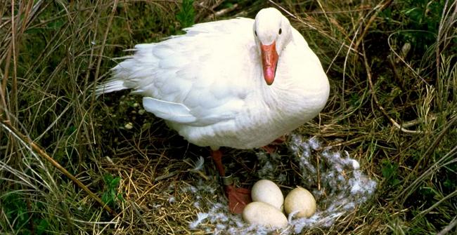 гусина с яйцами