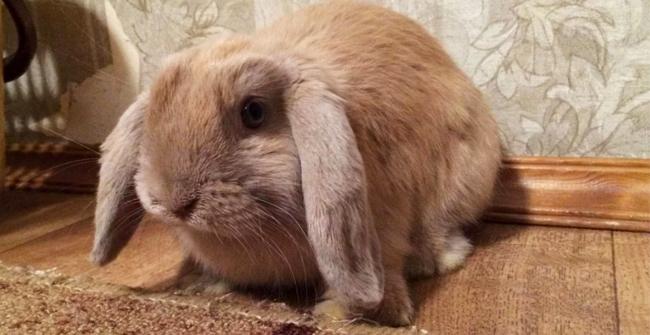 кролик с висячими ушами
