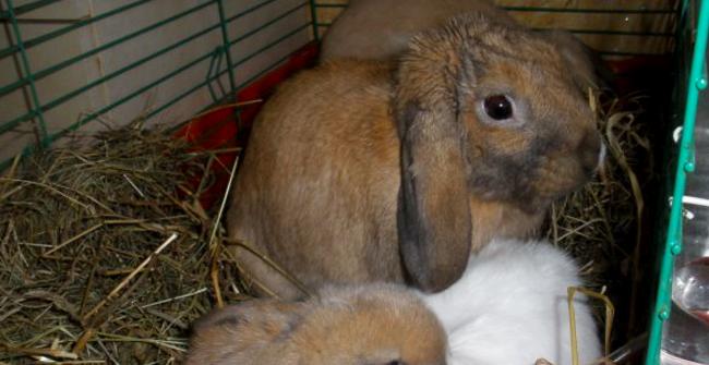порода вислоухих кроликов