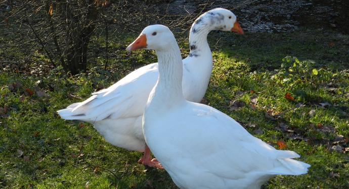 2 белых гуся датский легат