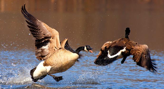 2 гуся взлетают с водой