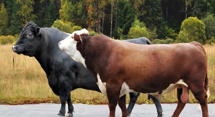 бык холмогорской породы