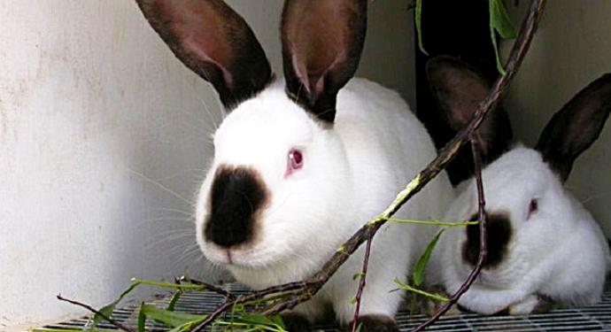 2 кролика кушают веточки