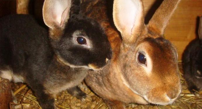 2 кролика необычной породы